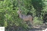 Antilopa Kudu