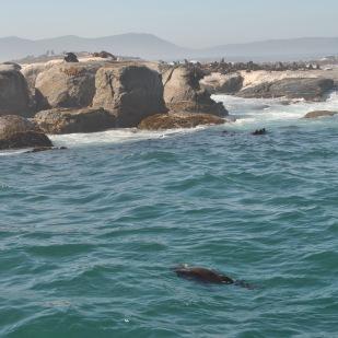Seal scuba diving !