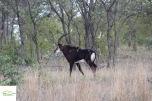Antilopa Sable
