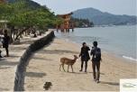 Japonia - Circuit -Friendly Deer in Miyajima