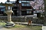 Japonia - Circuit - Itsukushima deer